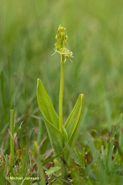 Liparis loeselii - Groenknolorchis - Fen orchid