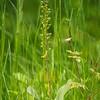 Neottia ovata - Grote keverorchis - Common twayblade