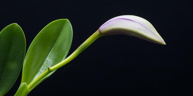 Cattleya (Laelia) jongheana