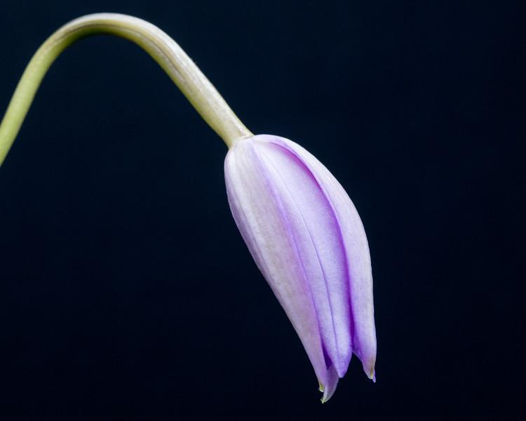 Cattleya (Laelia) x fidelensis
