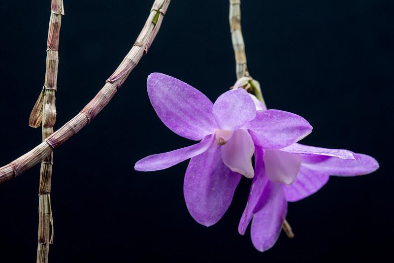 Dendrobium Pfeiff's Kaleidoscope