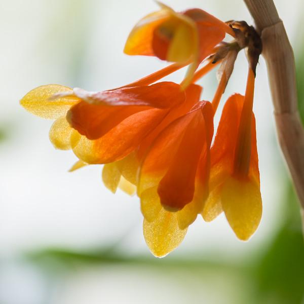 Dendrobium subclausum