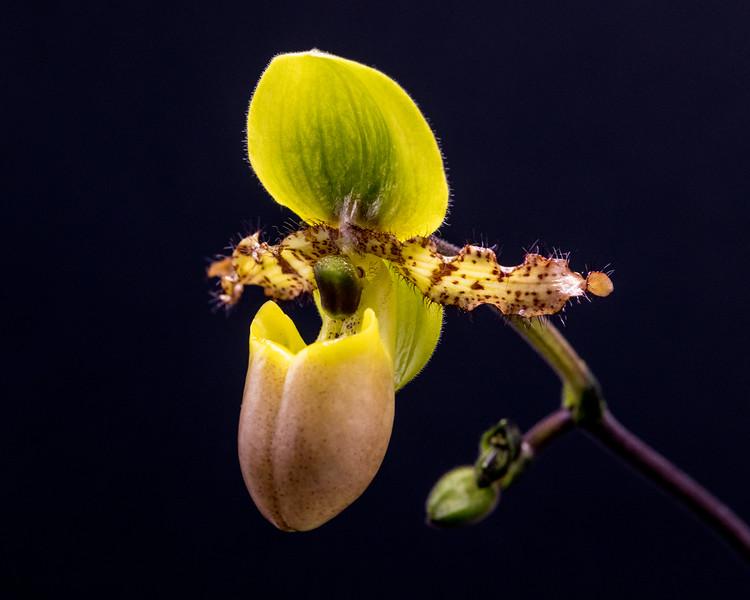 Paphiopedilum primulum fma. purpurescens