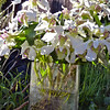 Dendrobium Nora Tokunaga '08