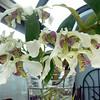 Dendrobium Nora Tokunaga '08(Atroviolaceum 'Pigmy' x rohodosticum)<br /> blooms in partial shade in Winter for 4 months.