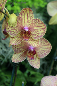 IMG_1782 WOC-Orchids