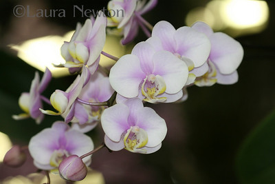 IMG_1808 WOC-Orchids