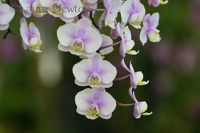 IMG_1809 WOC-Orchids