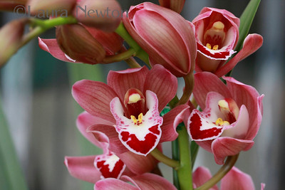 Cymbidium Seaside
