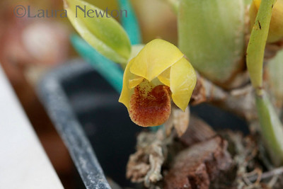 Maxillaria ferdinandiana