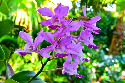 Schomburgkia NoID orchid