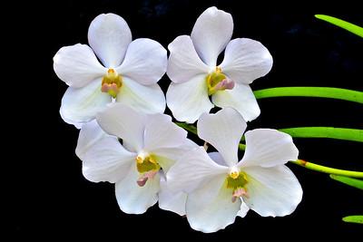 Vanda Zengyo White