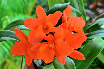 Blc. Fuchs Orange Nuggett 'Lea'