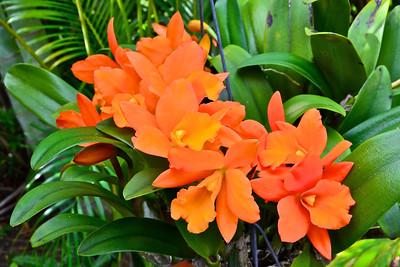 Blc. Fuch's Orange Nuggett 'Lea'
