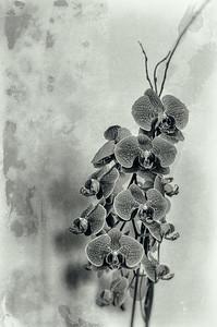 Orchids 7-8-14 mono V