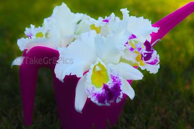 Soft Orchids