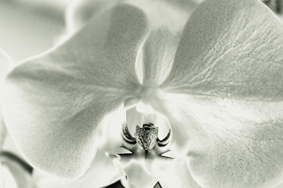 Orchid, mono, with Man Ray style solarization