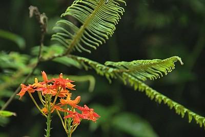 Epidendrum radicans - Crucifix orchid