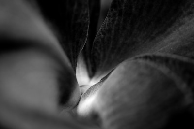 viewing the curves, orchid macro in black and white