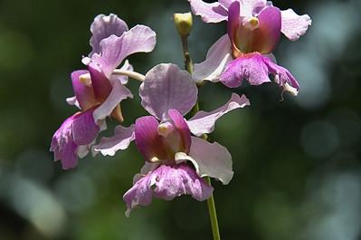 Arundina graminifolia - Bamboo  Orchid