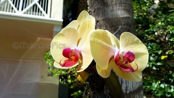 Sheila ' Orchids