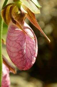 Cypripedium acaule - Pink Lady's Slipper