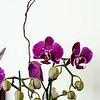 Purple Orchids and buds