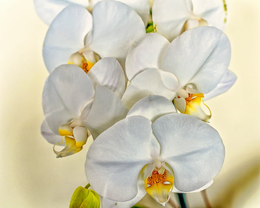Orchids, color