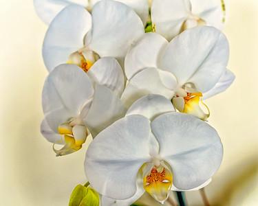 Orchids, color