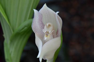 Anguloa virginalis - Tulip Orchid