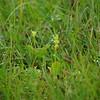 Fen Orchid 6, Liparis loeselii ovata, Kenfig Glamorgan, 21st July 2008