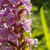 Common or Chalk Fragrant Orchid 3, Gymnadenia conopsea, Kent, 5th July