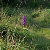 Marsh Fragrant Orchid 1, Gymnadenia densiflora, Durham, 15th July 2011
