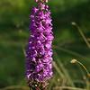 Marsh Fragrant Orchid 2, Gymnadenia densiflora,  Durham, 15th July 2011