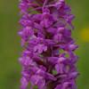 Marsh Fragrant Orchid 3, Gymnadenia densiflora,  Durham, 15th July 2011