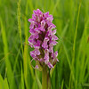 Early Marsh Orchid 4, Dactyloriza incarnata incarnata, Huntingdonshire, 9th June 2013