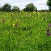 Green-winged Orchid 2, Anacamptis morio, Huntingdonshire, 17th May 2015