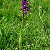 Green-winged Orchid 3, Anacamptis morio, Huntingdonshire, 17th May 2015
