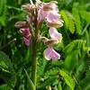 Green-winged Orchid 7, Anacamptis morio, Huntingdonshire, 17th May 2015