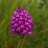 Pyramidal Orchid 2, Devil's Dyke, Cambridgeshire, 1st July 2007