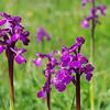 Green-winged Orchid 4, Anacamptis morio, Huntingdonshire, 17th May 2015