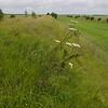 Pyramidal Orchid 1, Devil's Dyke, Cambridgeshire, 1st July 2007