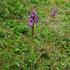Military Orchid 4, Orchis militaris var militaris, Rex Graham Reserve, Suffolk, 24th May 2015