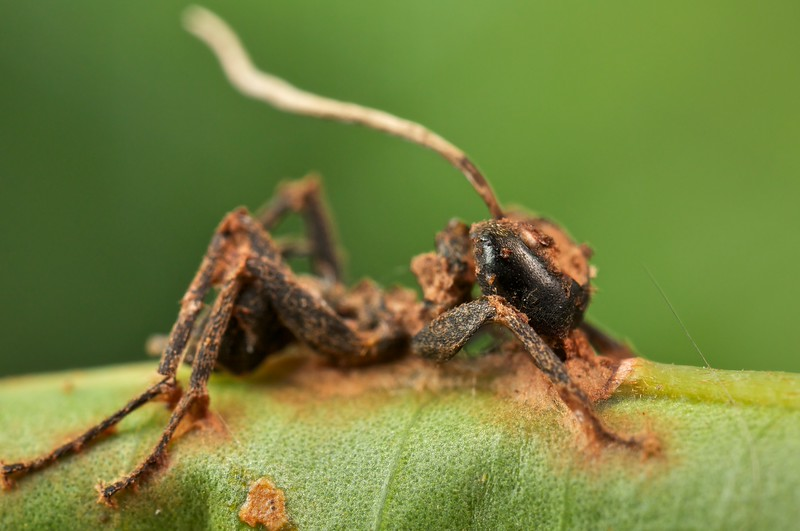 Ant infected with cordyceps fungus