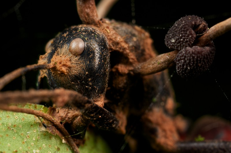 Carpenter ant (Camponotus gigas) with Cordyceps infection (Ophiocordyceps halabalaensis)
