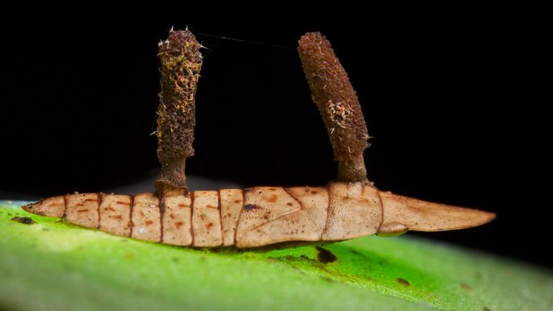 Cordyceps fungus ( Ophiocordyceps coccidiicola) infecting ledrinae