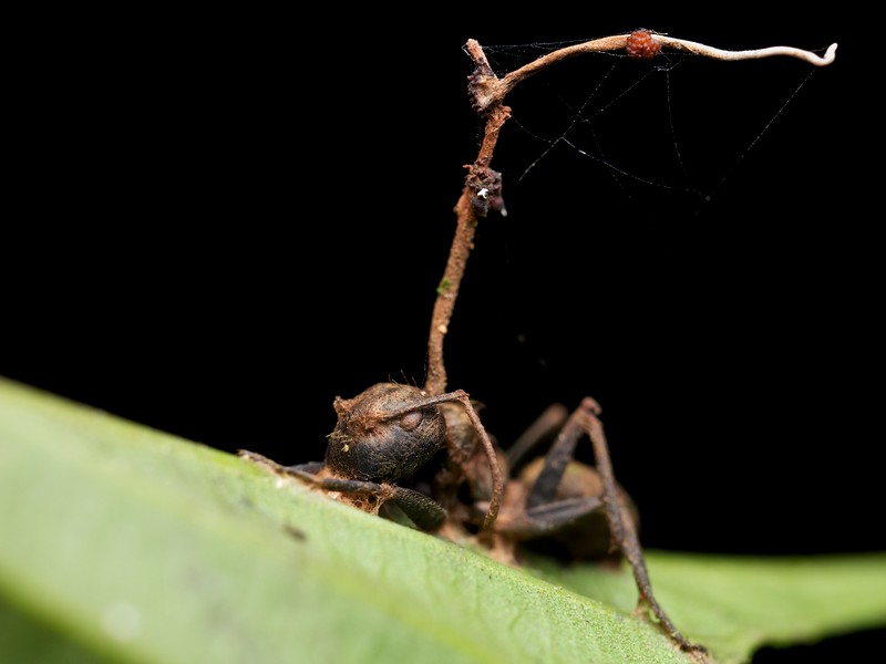 Carpenter ant infected with Cordyceps fungus (Ophiocordyceps unilateralis)