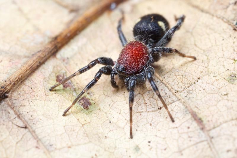 Velvet ant-mimicking corinnid spider (Graptartia granulosa)