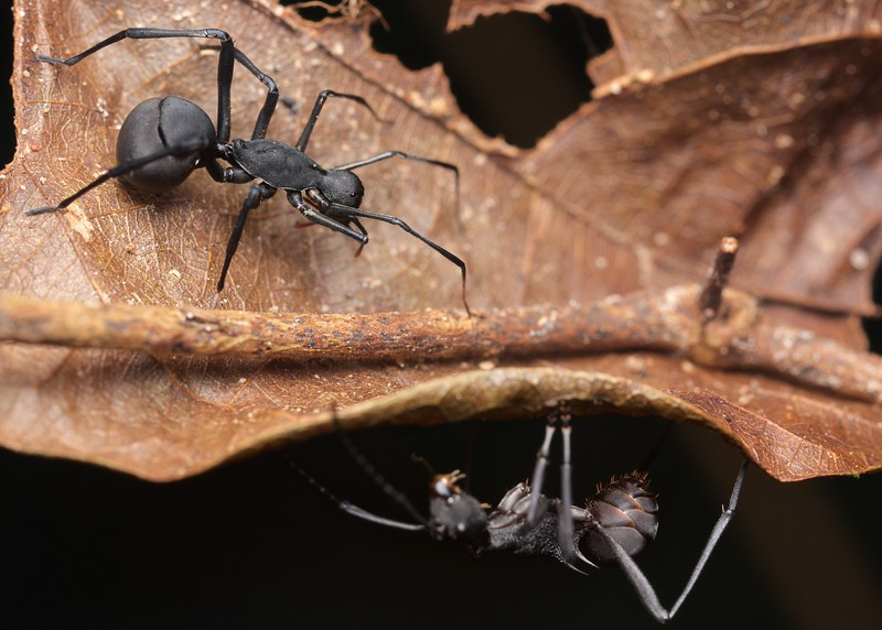 Polyrhachis ant model and clubionid spider mimic