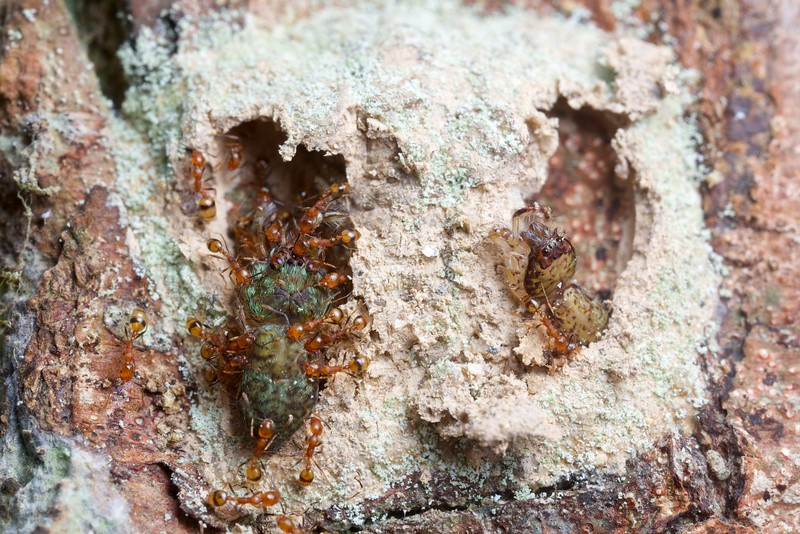 Ants invading sealed wasp brood chambers